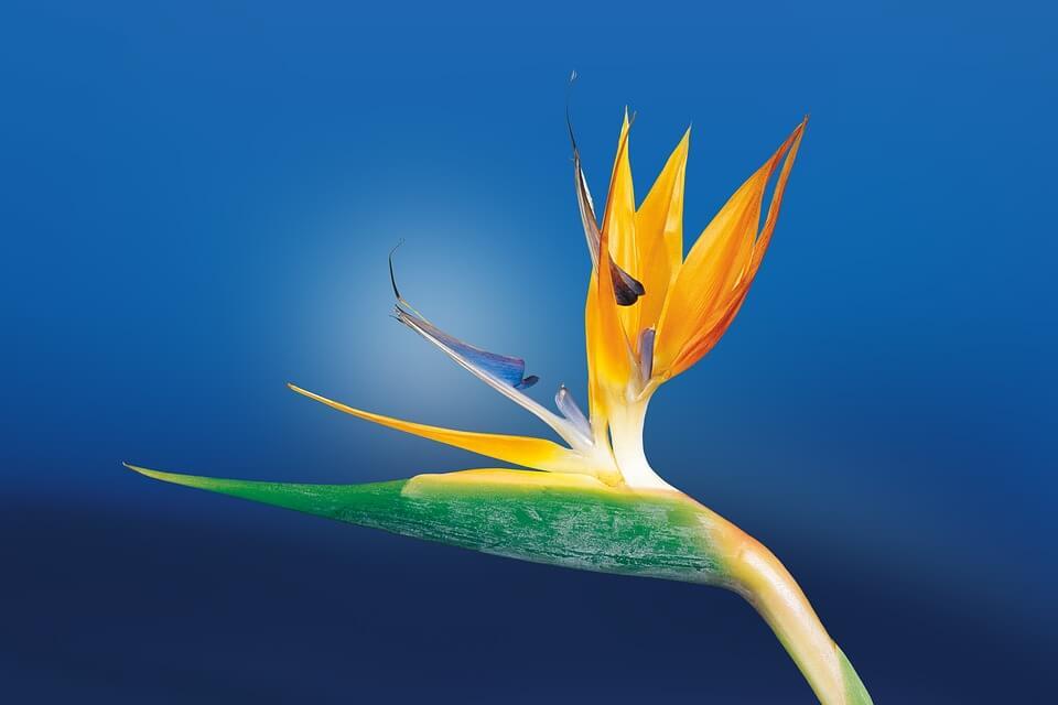 caudata flower